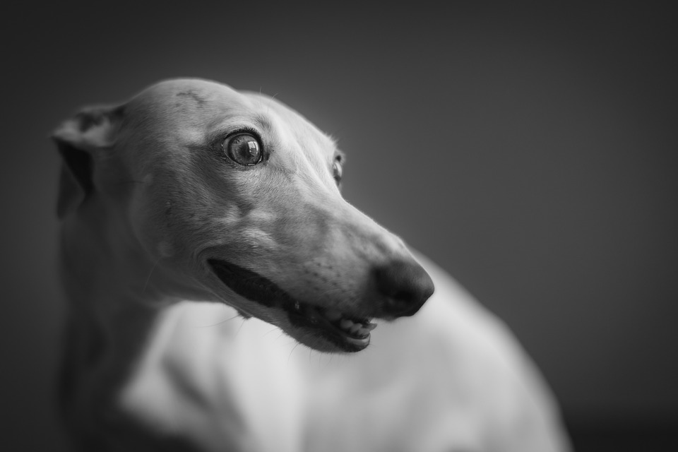 Should I buy a Greyhound or Whippet?