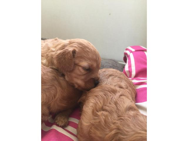 Ruby toy Cavoodles - 1