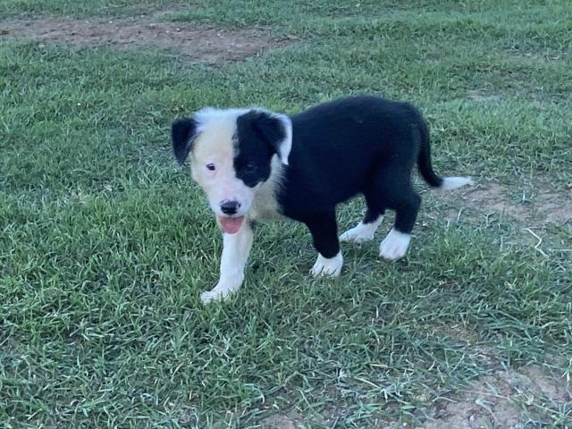 Border collie - 1