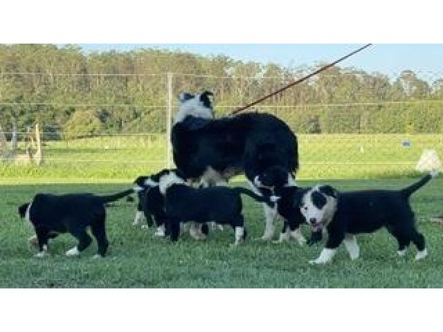 Border collie - 3